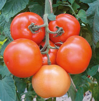 ЛИЛОС F1 - семена томата индетерминантного, 1 000 семян, Rijk Zwaan, фото 1