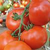 МАХИТОС F1 - семена томата индетерминантного, 1 000 семян, Rijk Zwaan