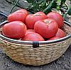 ЭСМИРА F1 - семена томата индетерминантного, 1 000 семян, Rijk Zwaan