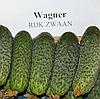 ВАГНЕР F1 - семена огурца партенокарпического, 1 000 семян, Rijk Zwaan