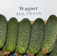 ВАГНЕР F1 - семена огурца партенокарпического, 1 000 семян, Rijk Zwaan, фото 1