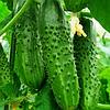 ГРАВИНА F1 - семена огурца партенокарпического, 1 000 семян, Rijk Zwaan