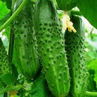 ГРАВИНА F1 - семена огурца партенокарпического, 1 000 семян, Rijk Zwaan, фото 1