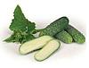 ДИРИГЕНТ F1 - насіння огірка партенокарпічного, 1 000 насінин, Rijk Zwaan