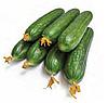 МЕВА F1 - насіння огірка партенокарпічного, 1 000 насінин, Rijk Zwaan