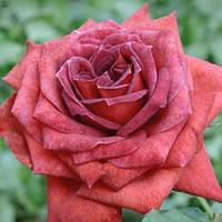 Троянда флорибунда Джоселін (Jocelyn), фото 1