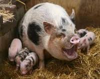 Купить премикс 2,5% для супоросных свиноматок  Германия