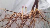 Сушеный корень ежевики