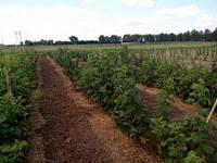 Отростки садовой ремонтантной малины Брусвяна открытая корневая система