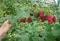 Садовые Саженцы ремонтантной малины Брусвяны открытая корневая система