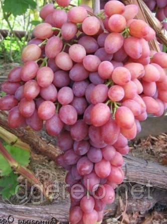 Кишмиш лучистый - виноград среднеранний