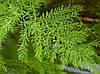 Семена Аспарагус Кистистый, фото 2