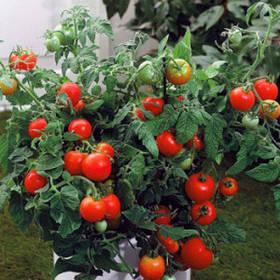 Семена детерминантных низкорослые томатов
