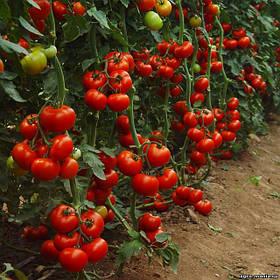 Семена индетерминантных высокорослые томатов