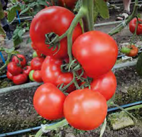 Семена томата индетерминантного Аттия F1, 1 шт, RZ (Рийк Цваан), Нидерланды