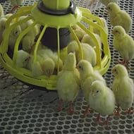 Оборудование для кормления птицы