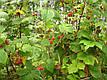 Саженцы малины лесной, фото 4