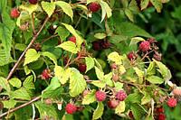Садовые Саженцы ремонтантной малины Лесной