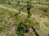 Ремонтантні Rubus fruticosus  2-х річні Трипл Краунвесна 2017