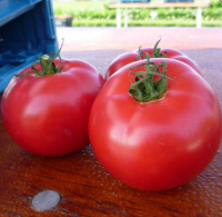 Семена томата розового индетерминантного Афен F1, Clause (Франция), 250 семян