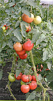 Cемена розового томата TS 02-0857 F1 500 шт, Solare Sementi