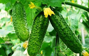 Семена огурцов партенокарпических самоопыляемых