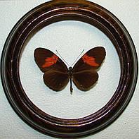 Сувенир - Бабочка в рамке Heliconius erato hydara. Оригинальный и неповторимый подарок!