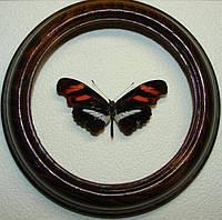 Сувенир - Бабочка в рамке Podotricha telesiphe. Оригинальный и неповторимый подарок!