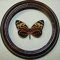 Сувенир - Бабочка в рамке Tithorea harmonia. Оригинальный и неповторимый подарок!