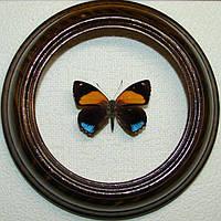 Сувенир - Бабочка в рамке Callicore aegina. Оригинальный и неповторимый подарок!