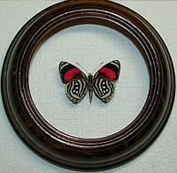 Сувенир - Бабочка в рамке Callicore hesperis. Оригинальный и неповторимый подарок!