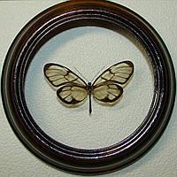 Сувенир - Бабочка в рамке Godyris dircenna. Оригинальный и неповторимый подарок!