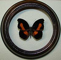 Сувенир - Бабочка в рамке Catonephele acontius. Оригинальный и неповторимый подарок!
