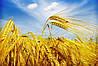 Україна експортувала майже 24 млн тонн зернових