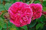 Роза Дамасская порошок (100г) Индия. Маска для лица., фото 2