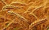 С 15-22 января 2016 года цены на ячмень и кукурузу увеличились