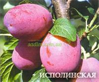 Слива Исполинская