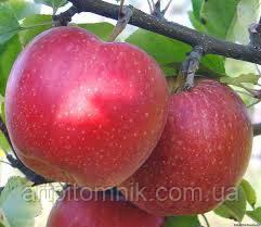 Моди яблоня