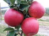 Моди яблоня, фото 3