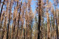 Хвороби та шкідники вразили 4% волинських лісів