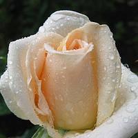 Троянди чайно-гібридна Осиана