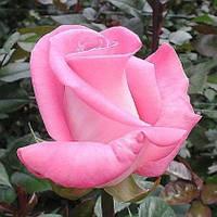 Роза Атташе