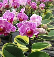 Орхідея, сорт Sogo Vivien variegata - горщик 2.5, без кольорів