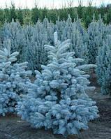ЕЛЬ ГОЛУБАЯ (Picea pungens), фото 1