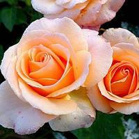 Троянди чайно-гібридна Версилия