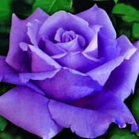 Троянди чайно-гібридна Шарль де Голь