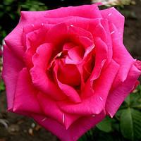 Троянди чайно-гібридна Шок Версилия