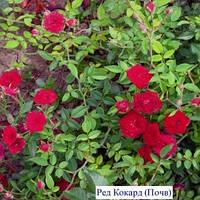 Роза Ред Кокард