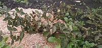 Rubus fruticosus  2-х річні Torn Free осінь 2017