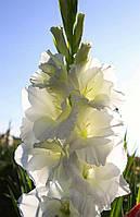Гладиолус  Белый Олимпус крупноцветковый